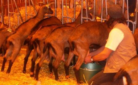 Traite à la main des chèvres